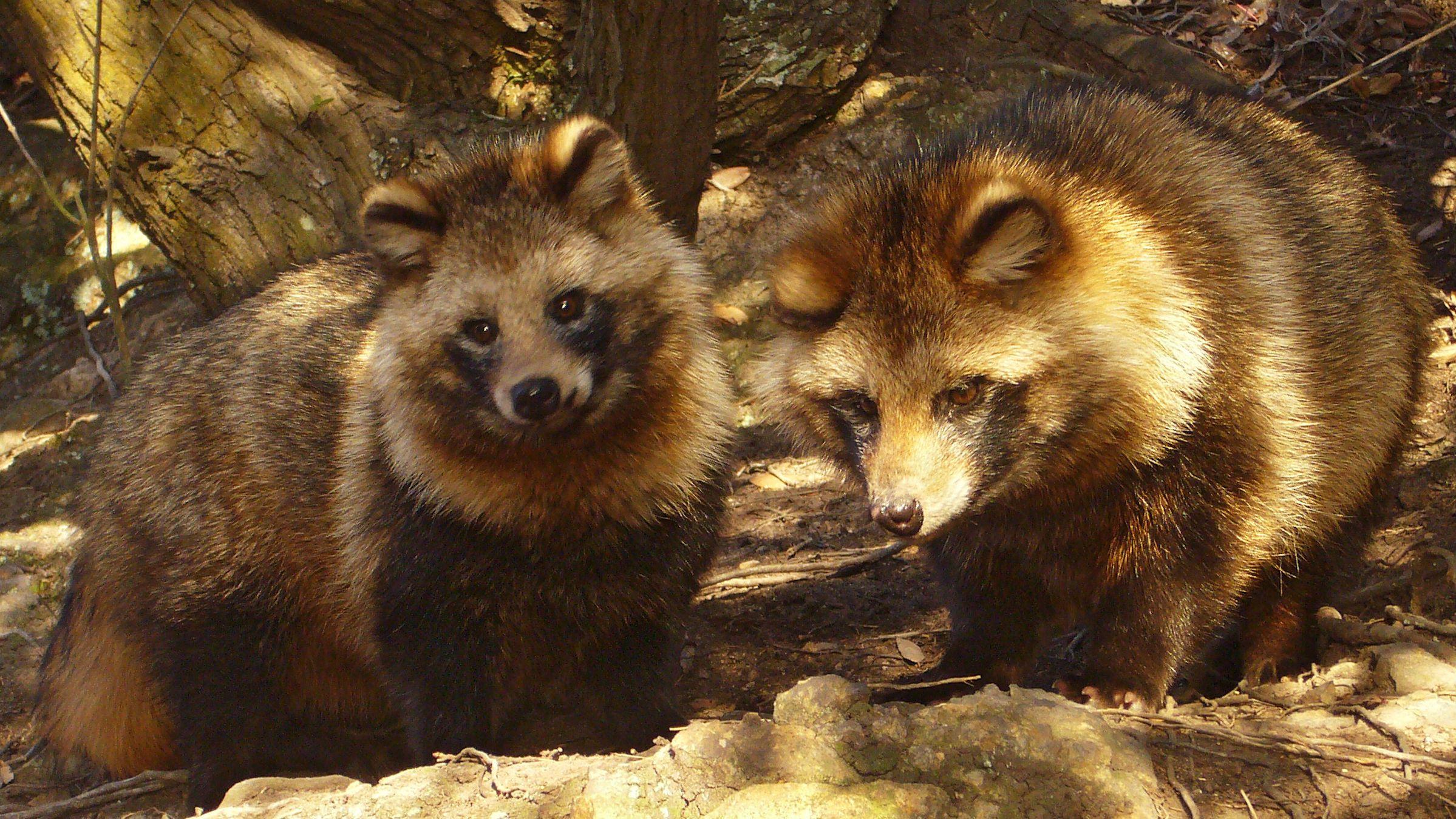 Parka real raccoon fur Nyctereutes procyon Hood raccoon fur lining mid length