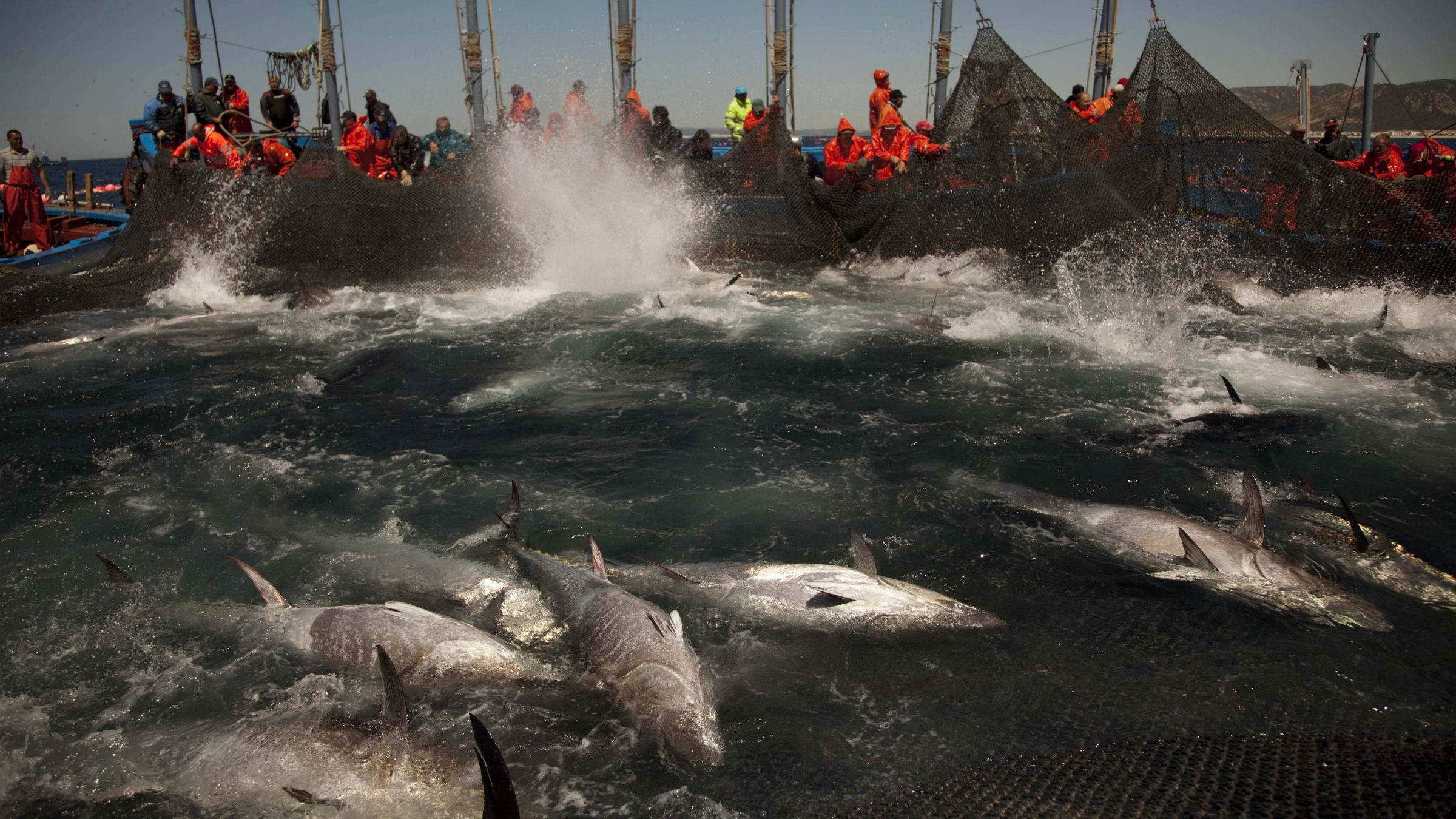 In this April 27, 2011 file photo, Atlantic bluefin tuna are surrounded by fishing nets during the opening of the season for tuna fishing off the coast of Barbate, Cadiz province, southern Spain. A scientific study on Tuesday, Oct. 18, 2011 said over twice as much of the rare eastern Atlantic bluefin tuna in the Mediterranean is traded than catch quotas allow for, further threatening the survival of the dinnertime favorite at sushi bars across the globe.