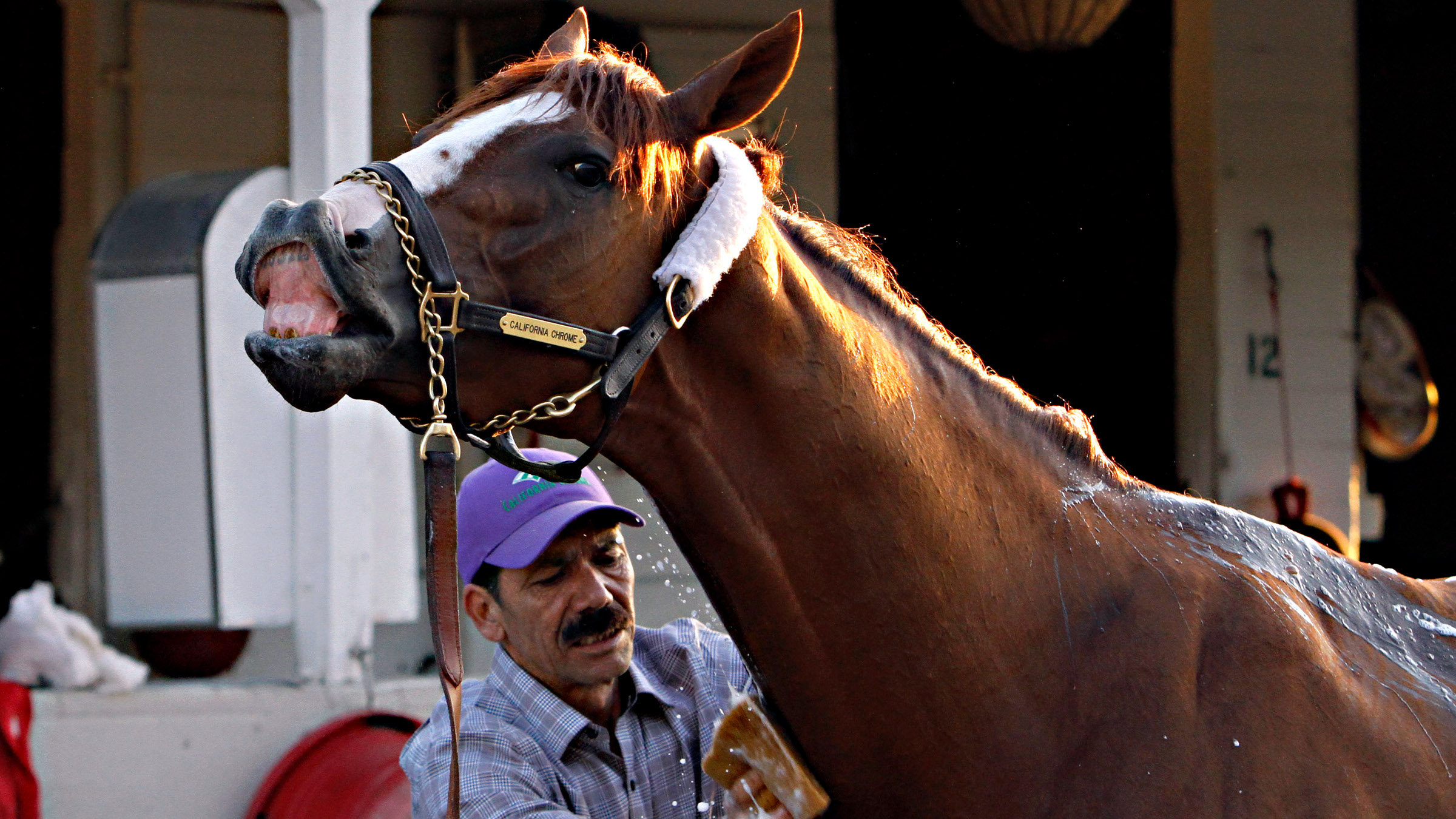 Kentucky Derby winner California Chrome reacts as groomer Raul Rodriguez gives him a bath after a jog on the track at Churchill Downs in Louisville, Ky., Wednesday, May 7, 2014.