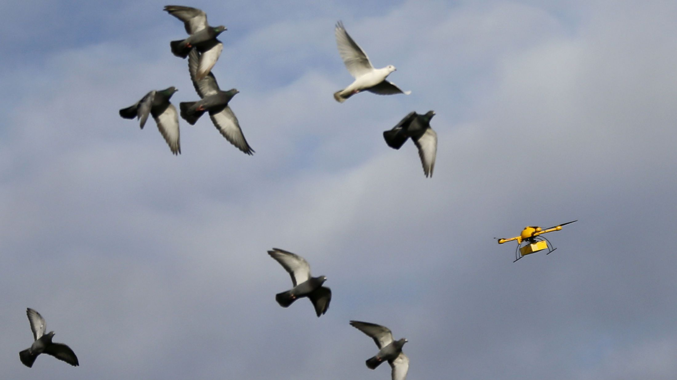 """A flock of pigeons flies with a prototype """"parcelcopter"""" of German postal and logistics group Deutsche Post DHL in Bonn December 9, 2013. DHL on Monday showed its prototype """"parcelcopter,"""" which is a modified microdrone that costs 40,000 euros ($54,900) and can carry packages up to 1.2 kg (2.65 pounds). REUTERS/Wolfgang Rattay"""