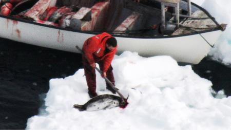 A sealer loads up a boat with harp seal carcasses from an ice pan off the west coast of Newfoundland, April 12, 2008. REUTERS/Humane Society of the United States/M. Glover