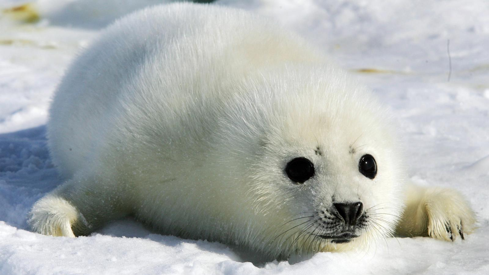 Canada can't force the EU to buy its murdered baby seals — Quartz