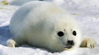 A harp seal pup lies on an ice floe in the Gulf of St. Lawrence, Canada March 2, 2006. [Singer Paul McCartney and his wife, Heather, arrived for a visit to the ice floes in the east coast of Canada to protest the killing of harp seal pups.] The annual Canadian seal hunt is scheduled to begin later in the month.