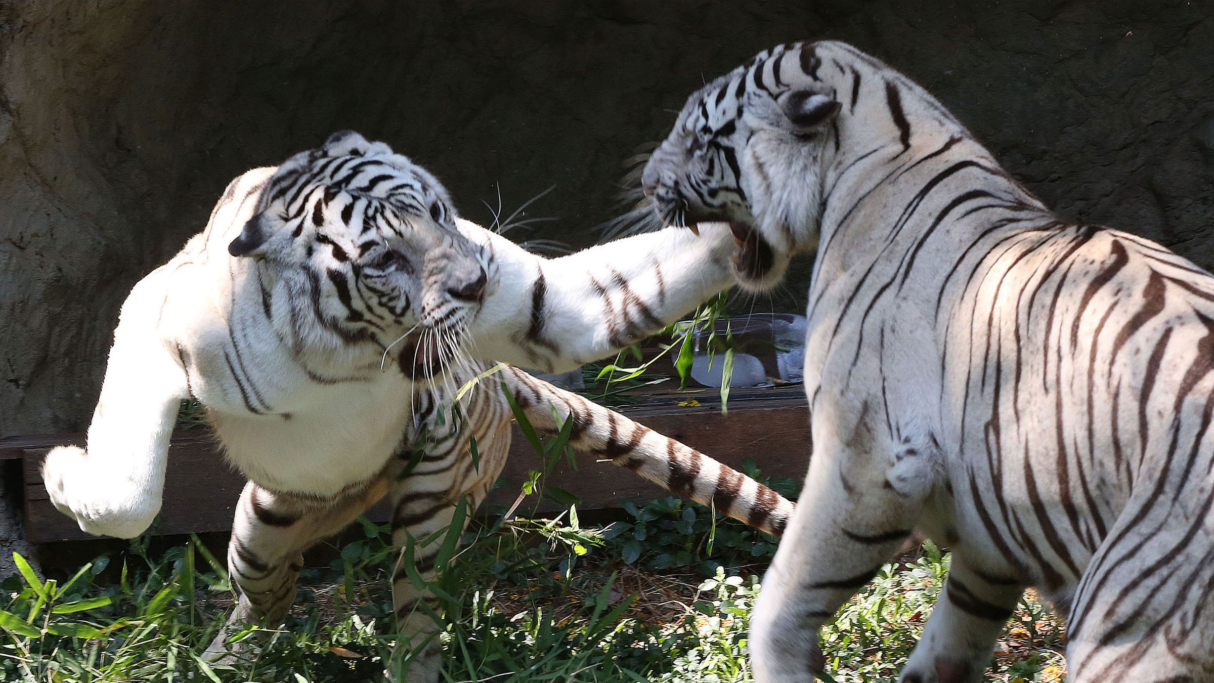 Tiger cubs fight