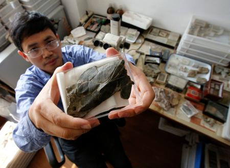 Min Zhu, professor at the Chinese Academy of Sciences' Institute of Vertebrate Paleontology and Paleoanthropology, shows a fossil of the heavily armoured fish, Entelognathus primordialis, during a photo opportunity at his laboratory in Beijing September 27, 2013. An international team of scientists in China has discovered what may be the earliest known creature with a distinct face, a 419 million-year-old fish that could be a missing link in the development of vertebrates. REUTERS/Kim Kyung-Hoon (CHINA)