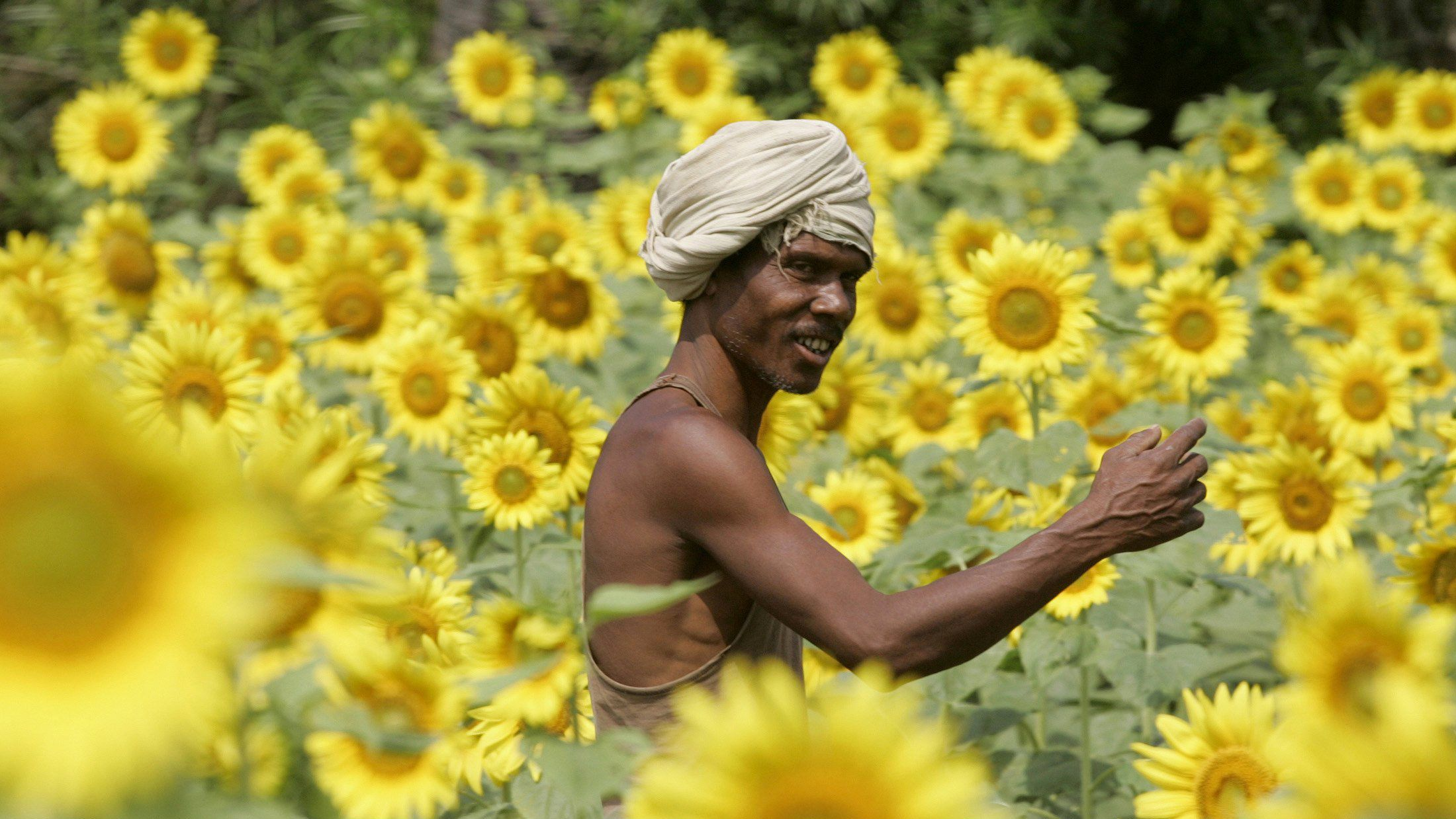 A farmer works in a sunflower field in Khatihari village, about 95 km (59 miles) east from the eastern Indian city of Bhubaneswar