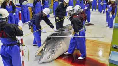 Researchers check a minke whale at Ayukawa port in Ishinomaki, Miyagi Prefecture April 26, 2014, after four Japan's research whaling ships returned from a one-day hunt for minke whales off the prefecture. The research hunt will operate until June 11 to take up to 51 minke whales from coastal waters, local media reported. Japan said last Friday it would conduct a sharply scaled down form of its annual Northwest Pacific whaling campaign this year despite an international court ruling last month against the mainstay of its whaling programme in the Antarctic. Mandatory credit REUTERS/Kyodo