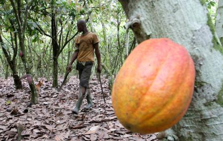 cocoa farmer in the ivory coast, cocoa prices climb