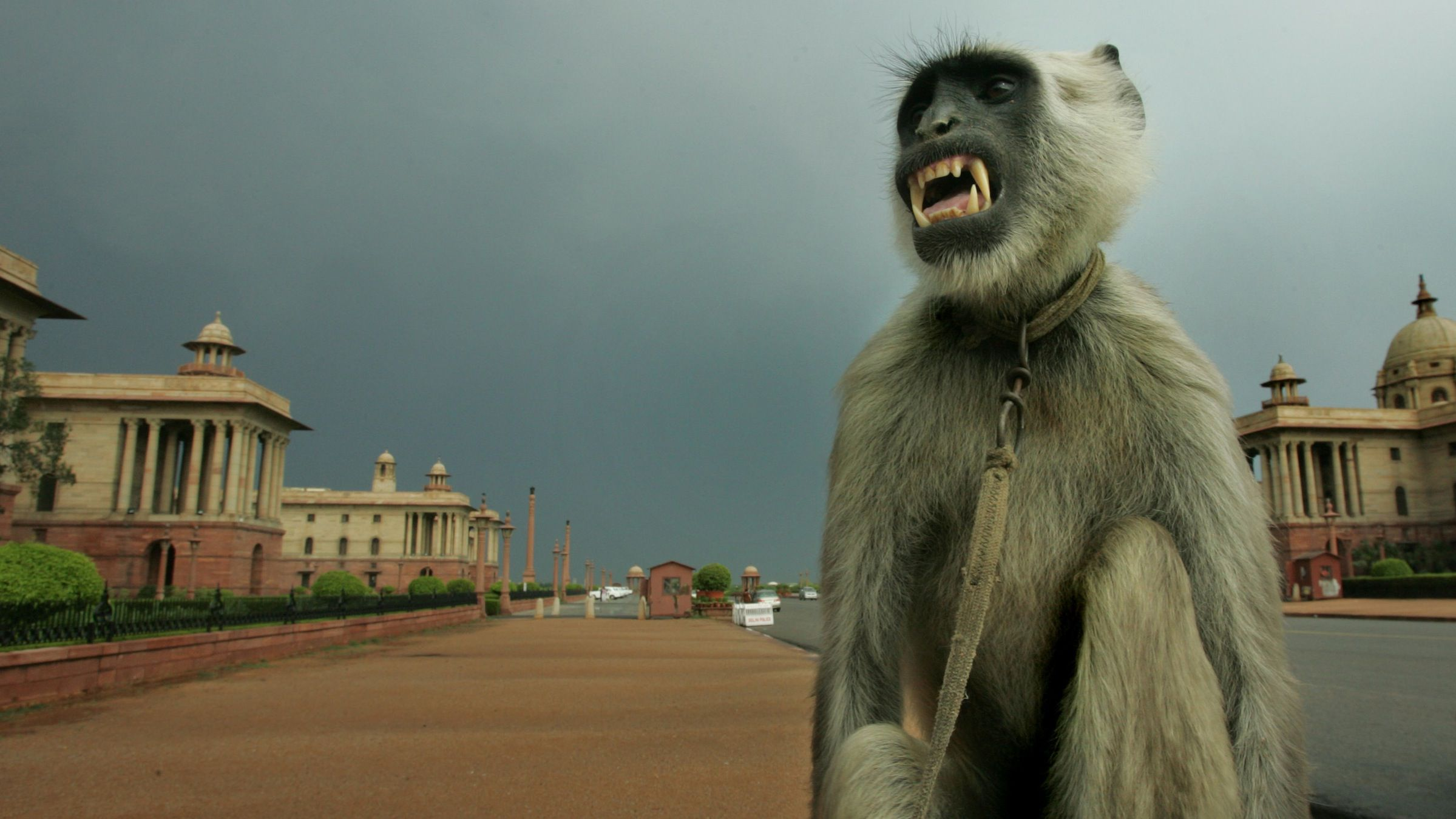 A tamed langur, a particularly fierce breed of apes, used by its owner as deterrent against rhesus monkeys in government offices, grimaces at its owner, unseen, as he dries up after a rainstorm near the Presidential Palace complex in New Delhi, India, Sunday, May 6, 2007. Many parts of northern India continued to be under hot weather conditions even as capital Delhi witnessed a brief spell of rain. (AP Photo/Gurinder Osan)