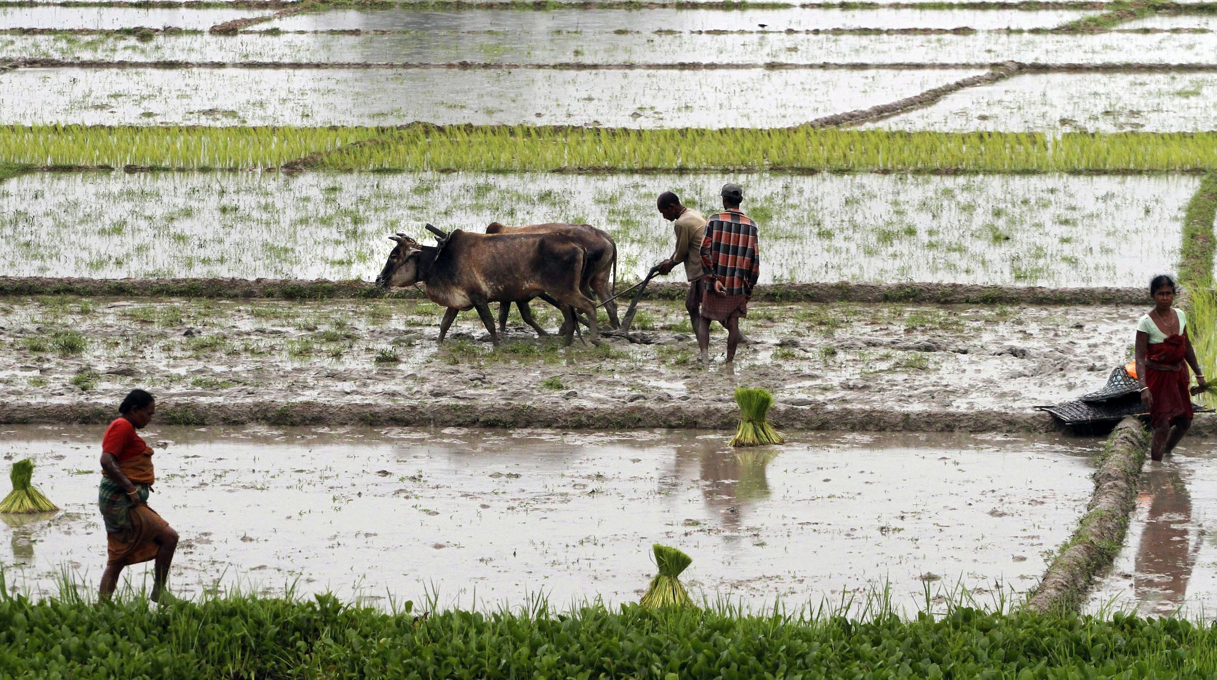 Farmers plough a paddy field in Kokrajhar, about 225 kilometers (140 miles) west of Gauhati, India, Wednesday, July 21, 2010. With the arrival of monsoon rains, farming activity has resumed in the paddy fields. ( AP Photo/Anupam Nath)