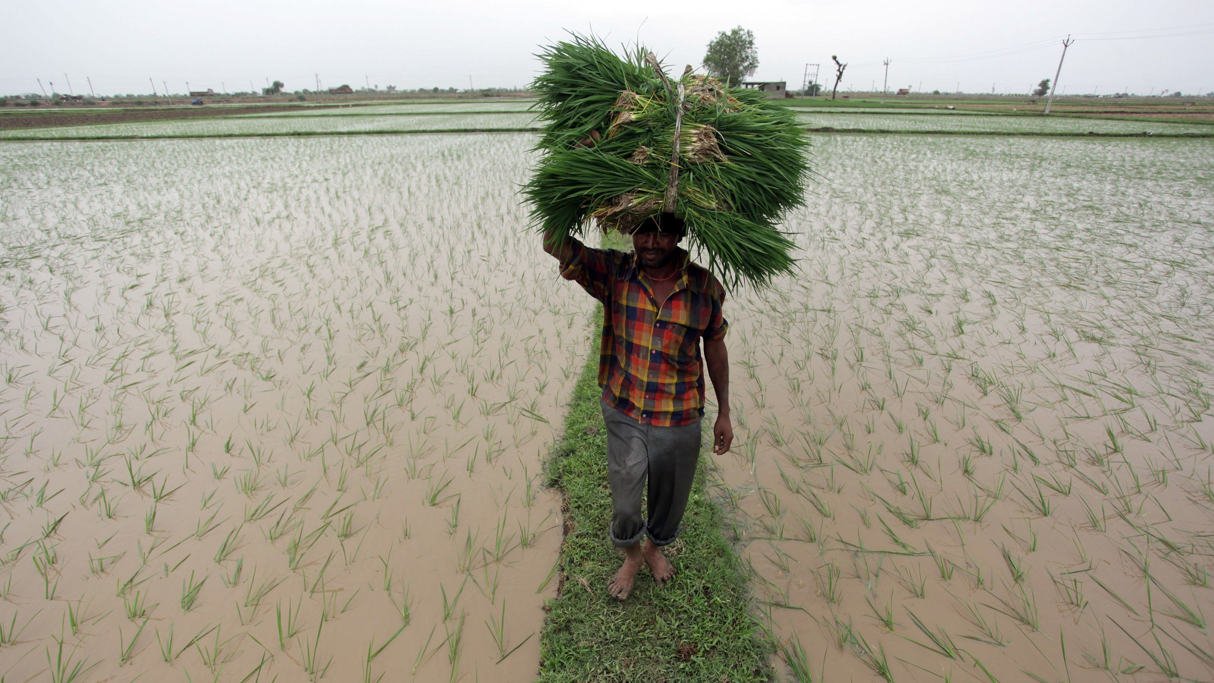 An Indian laborer carries paddy saplings to plant in a field on the outskirts of Ahmadabad, in the western Indian state of Gujarat, Saturday, July 19, 2014. After fears of possible drought, the monsoon finally hit most areas of the state, coming as a relief to farmers. (AP Photo/Ajit Solanki)