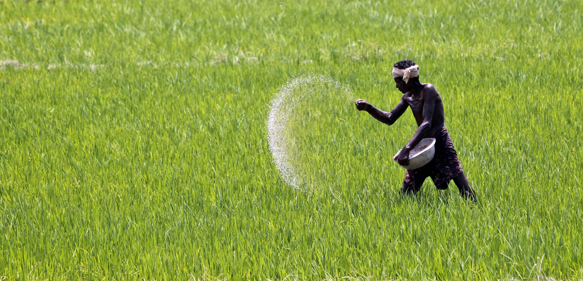 A village farmer sprinkles fertilizer in a paddy field on the outskirts of Bhubaneswar, India, Saturday, Aug. 24, 2013. The Indian economy, Asia's third largest, grew 5 percent in the financial year ended March, its slowest in a decade and well off the 8 percent pace it had averaged over those 10 years. (AP Photo/Biswaranjan Rout)