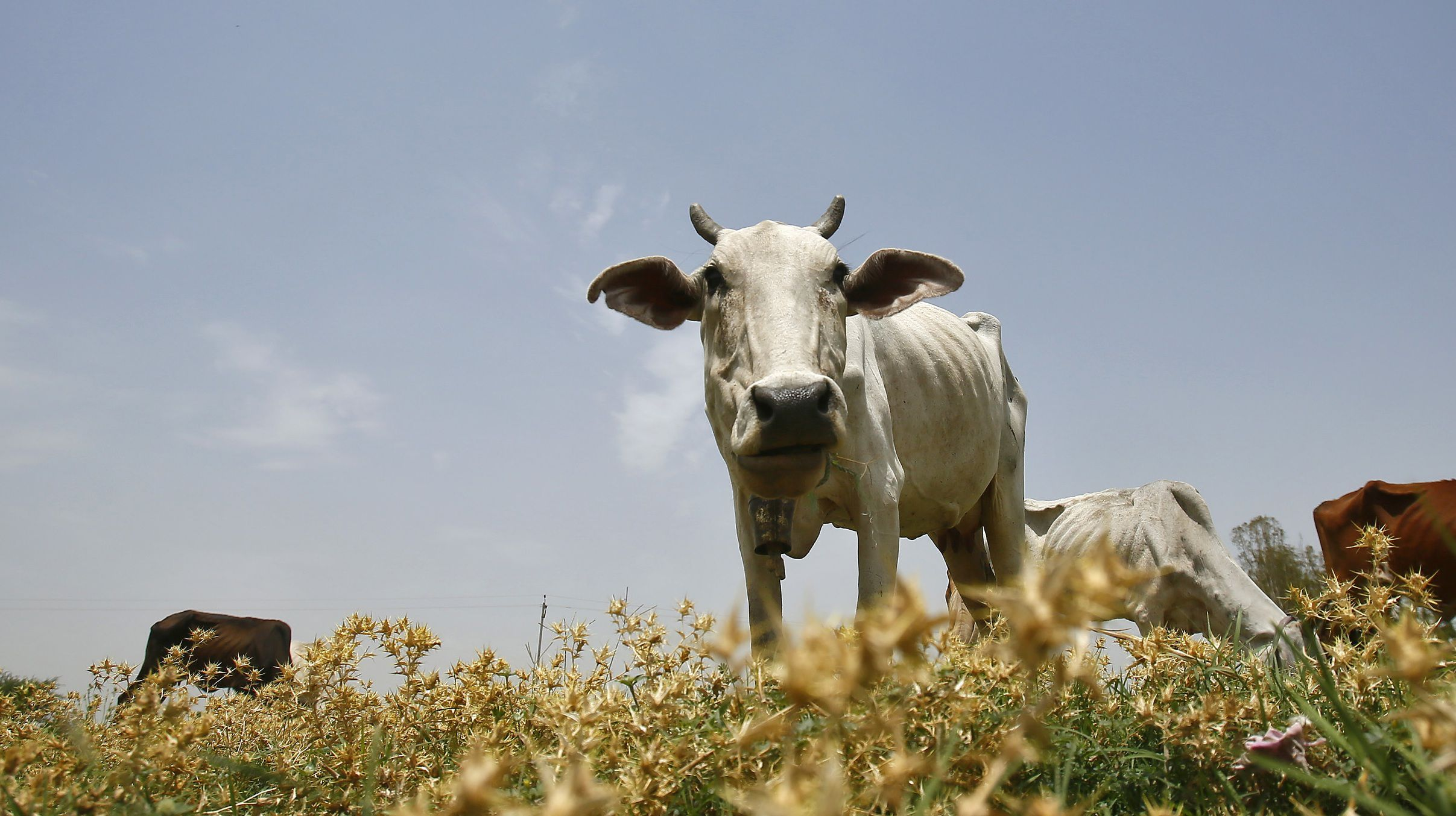 dairy cow in India