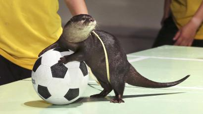Otter with a soccer ball