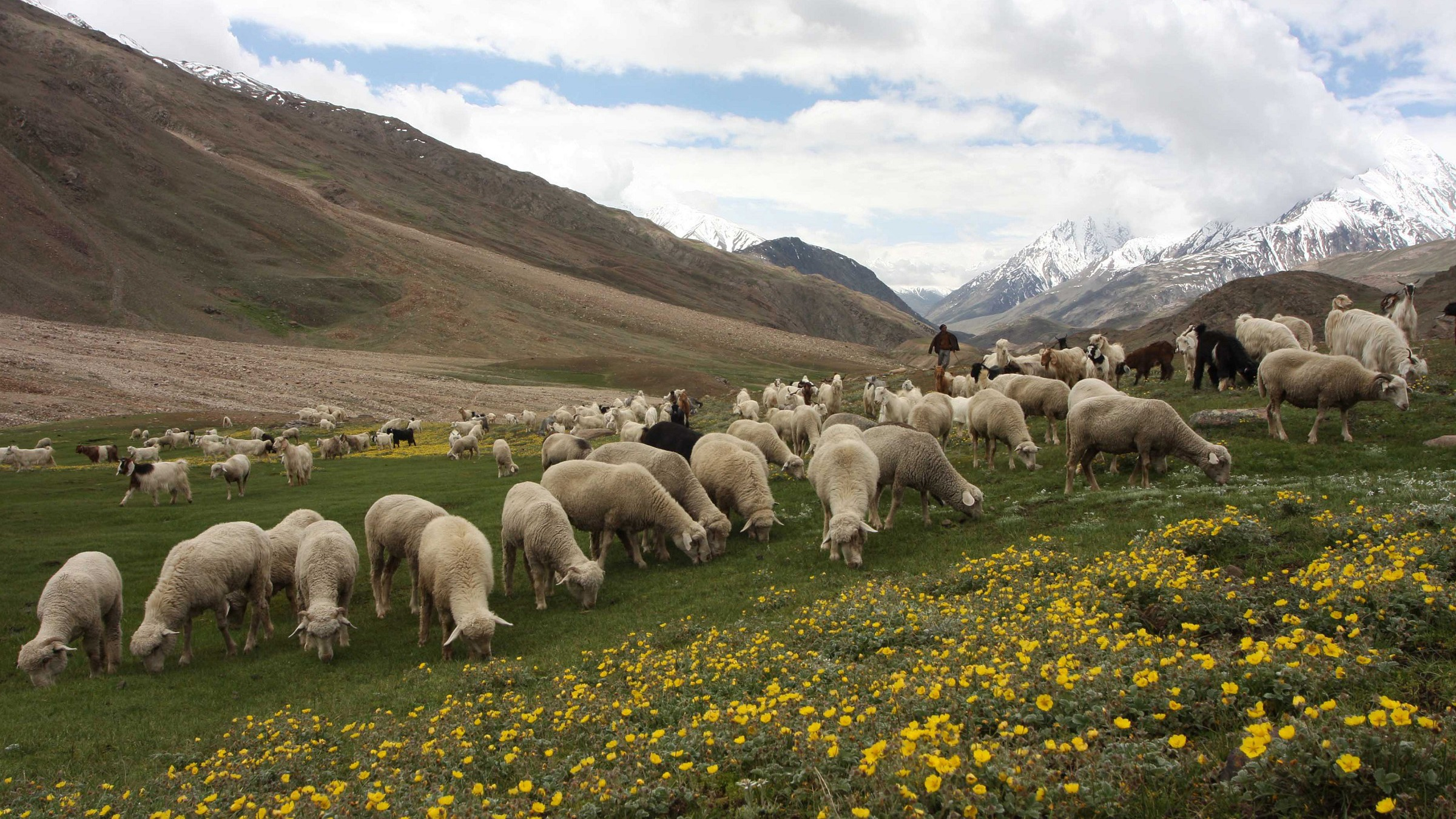 A shepherd watches as sheep graze on a pasture near Batal village, in the Lahoul & Spiti district in the northern Indian state of Himachal Pradesh, July 15, 2009.   REUTERS/Stringer (INDIA SOCIETY ANIMALS) - RTR25OQ7