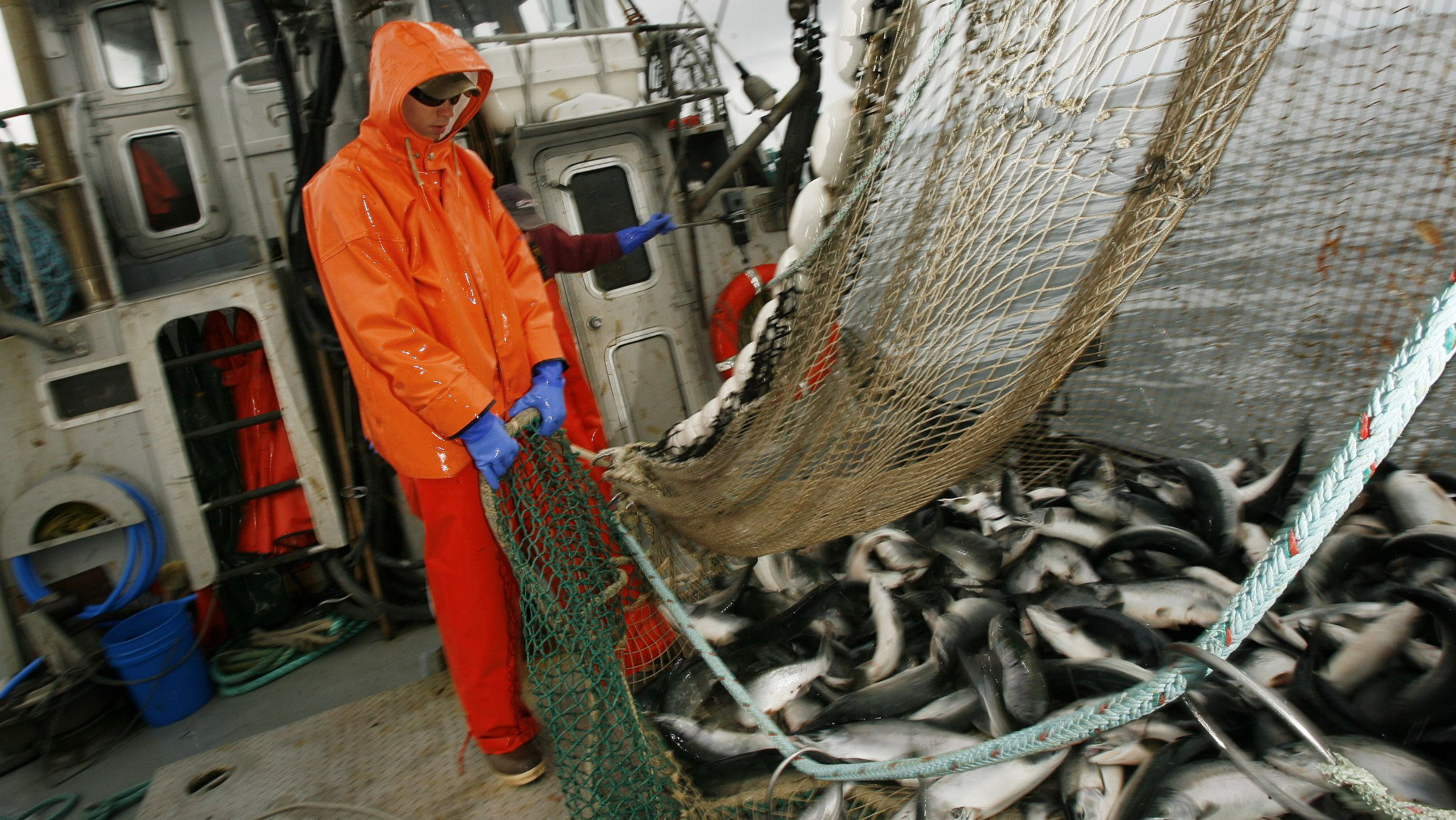 sockeye salmon fishery sustainable farmed export processing Deck hand Mac Cox works to haul a load of fish into the fish hold of the commercial salmon seining vessel F/V Renaissance in the waters off the island of Kodiak, Alaska August 3, 2008. REUTERS/Lucas Jackson