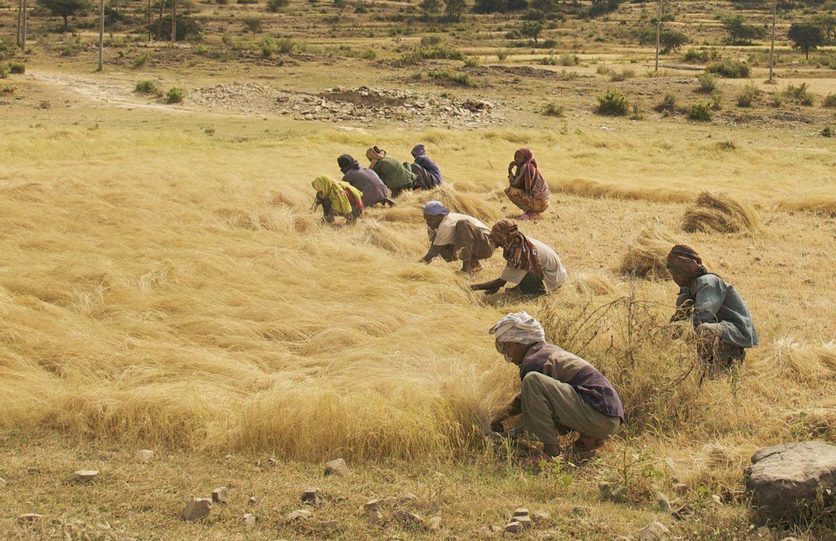 Teff in Ethiopia