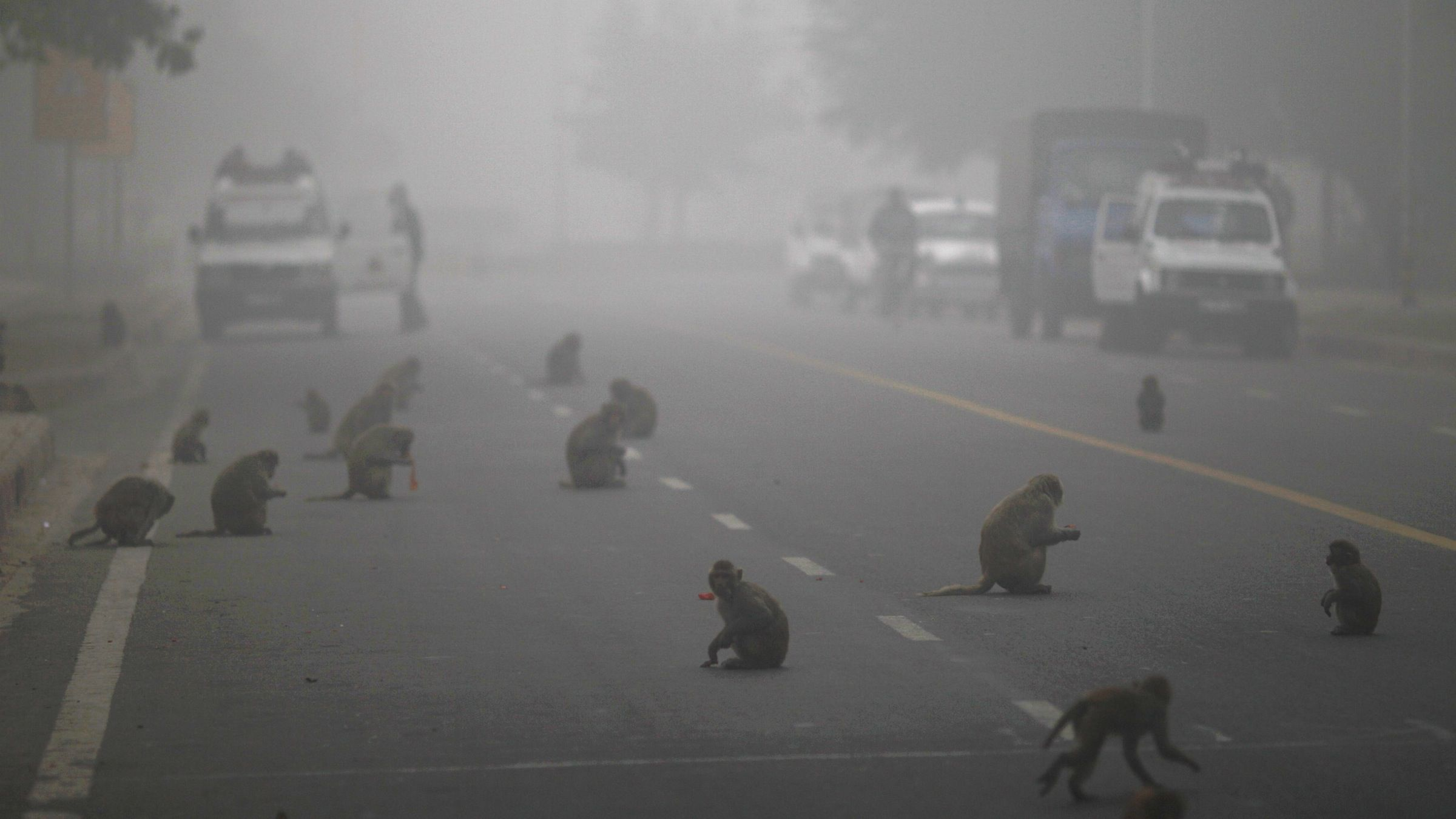Monkeys help themselves to fruits handed out by devout Hindus early on a foggy morning in New Delhi, India, Tuesday, Jan. 3, 2012. Tuesday being the day of the Hindu Monkey God Hanuman, fruits and other food are handed out to monkeys by devotees as an act to rid themselves of their sin. (AP Photo/Saurabh Das)