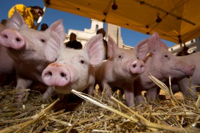 Piglets snuffle around in the hay in front of the Italian parliament in Rome Thursday, Dec. 5, 2013, as hundreds of farmers protest to protect pork products Made in Italy. The farmers started their protest Wednesday in the north of Italy, on the border between Italy and Austria, controlling the goods origin coming from other European countries. The said they observed that many goods were entering Italy with the brand Made in Italy already put on it. According to the farmer's organization Coldiretti, 50 percent of pork products imported into Italy come from Germany where intensive farming is practiced. (AP Photo/Andrew Medichini)