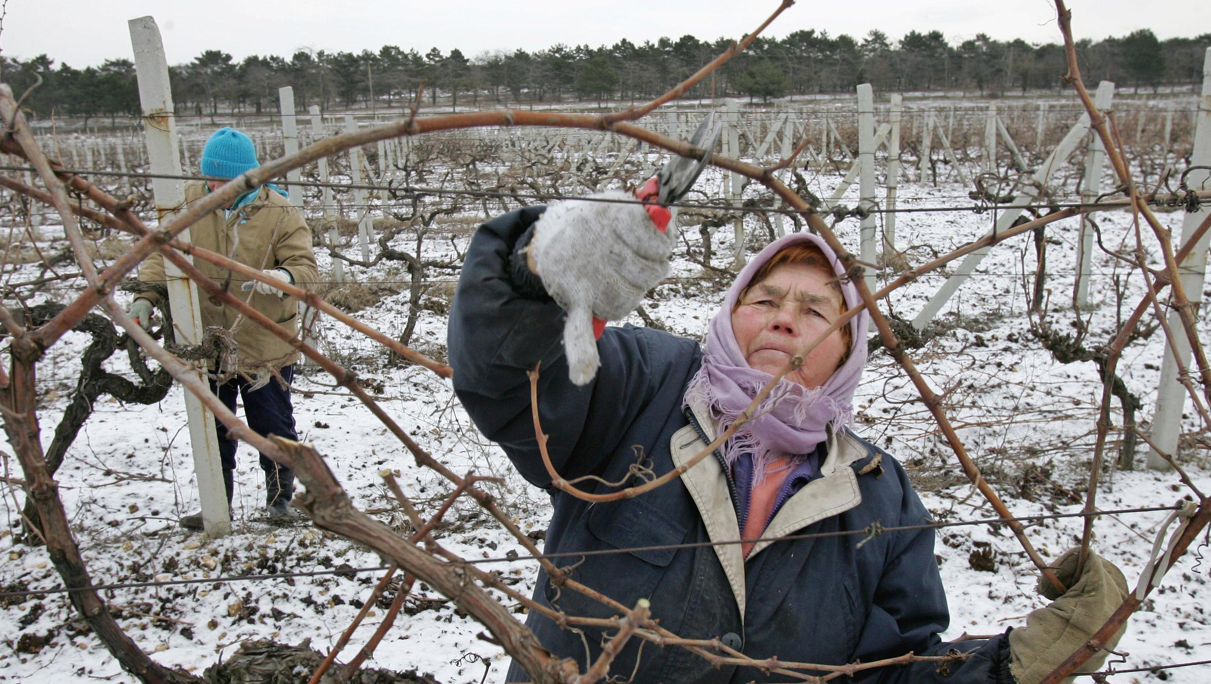 A Ukrainian woman prunes branches from a vineyard hit by frosts, at a farm near Ukraine's Black sea port of Sevastopol on February, 15, 2006. Temperatures fell to a 20-year low in Ukraine's southern Crimea, killing from 70 to 100 percent of grape harvest on the wine-making peninsular. REUTERS/Gleb Garanich - RTR1AZTT