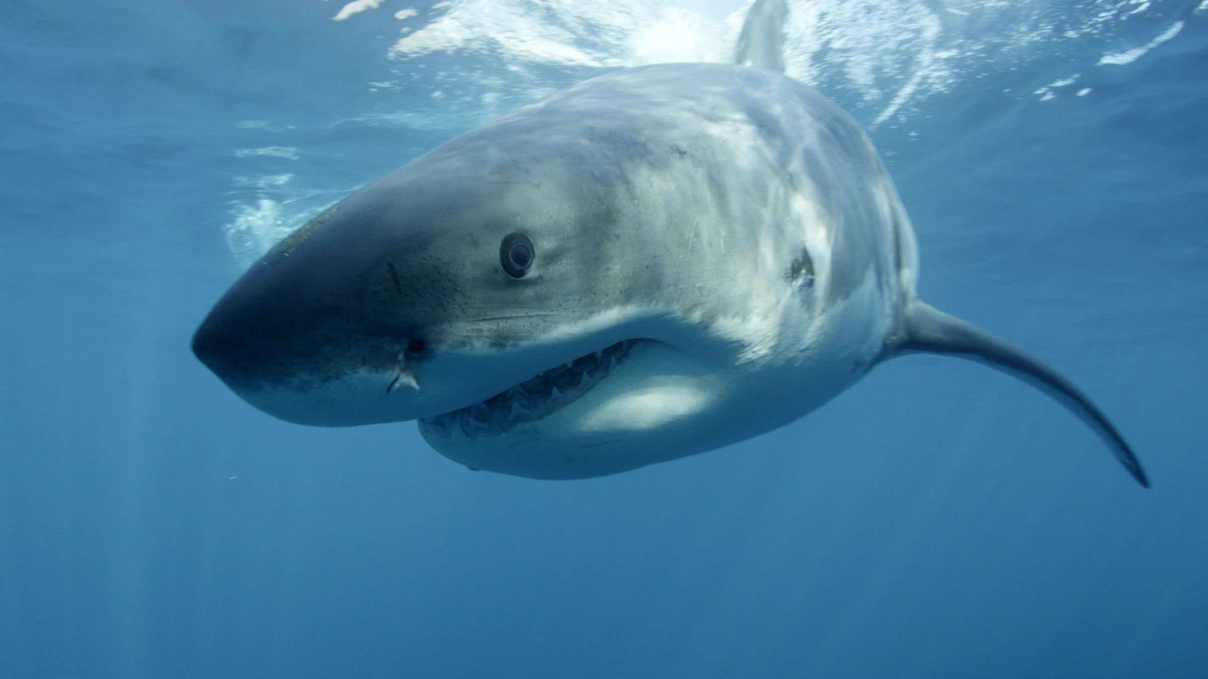 A great white shark swims near Guadalupe Island off the coast of Mexico.