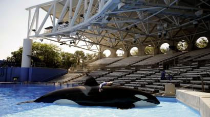 A captive killer whale at SeaWorld.