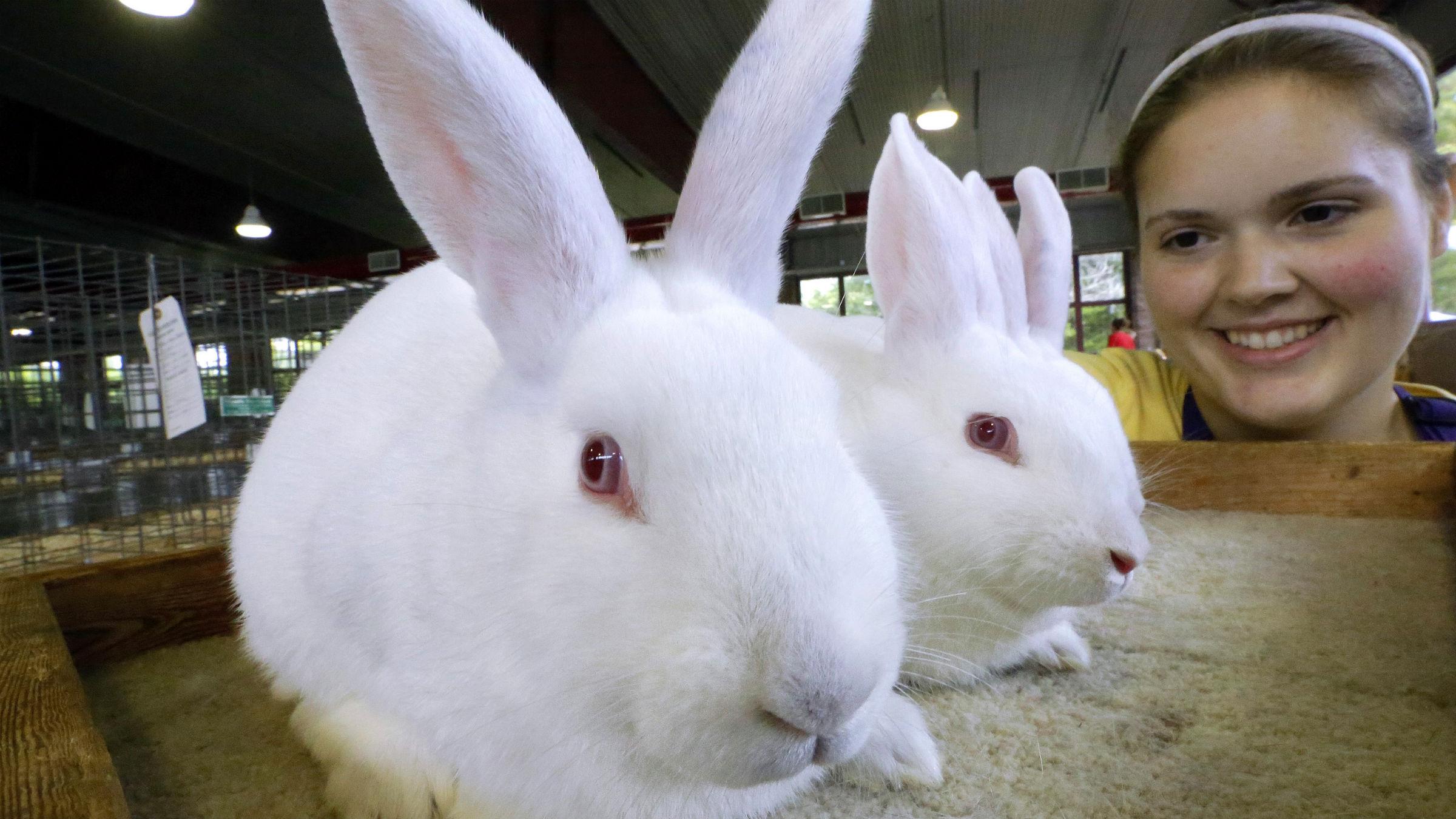 Rabbits at State Fair
