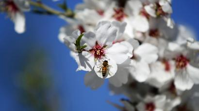 A bee on an almond tree