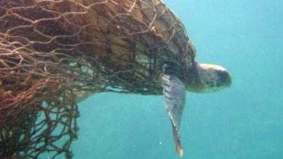 """In this photo provided by the National Oceanic and Atmospheric Administration, a Green Turtle is entangled in a ghost net, also known as derelict fishing nets, along the Northwestern Hawaiian Islands in 2002. When President Bush announced the formation of the Northwestern Hawaiian Islands National Marine Monument June 15, 2006, it was hailed by ocean advocates and others as a landmark action by an administration not known for its environmental deeds. Yet a trash problem that has plagued the area since before its monument status has only gotten worse since Bush signed the proclamation prohibiting """"discharging or depositing any material or other matter into the monument...or outside the monument"""" and launched a marine debris initiative, federal data shows. (AP Photo/National Oceanic and Atmospheric Administration, Jacob Asher"""