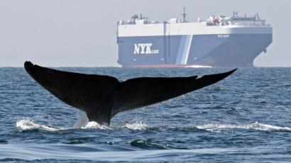 Blue whale numbers off the US west coast are back where they