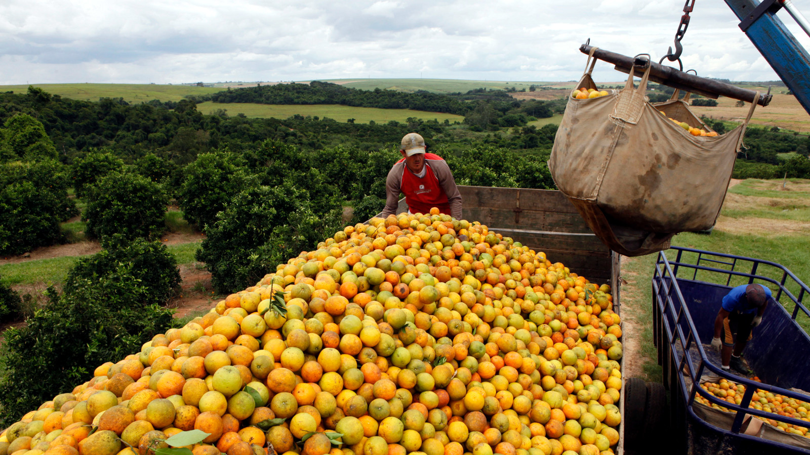 Workers load a truck with oranges on a farm in Limeira January 13, 2012. Brazil, the world's top orange juice exporter, will continue to depend on a fungicide that is banned in the United States even though its use jeopardizes exports to the U.S. market, a researcher and a producer said on Thursday. Lawyers for Brazil's juice industry, which exports more than $2 billion worth globally each year, are talking to U.S. officials to try to come up with a solution.