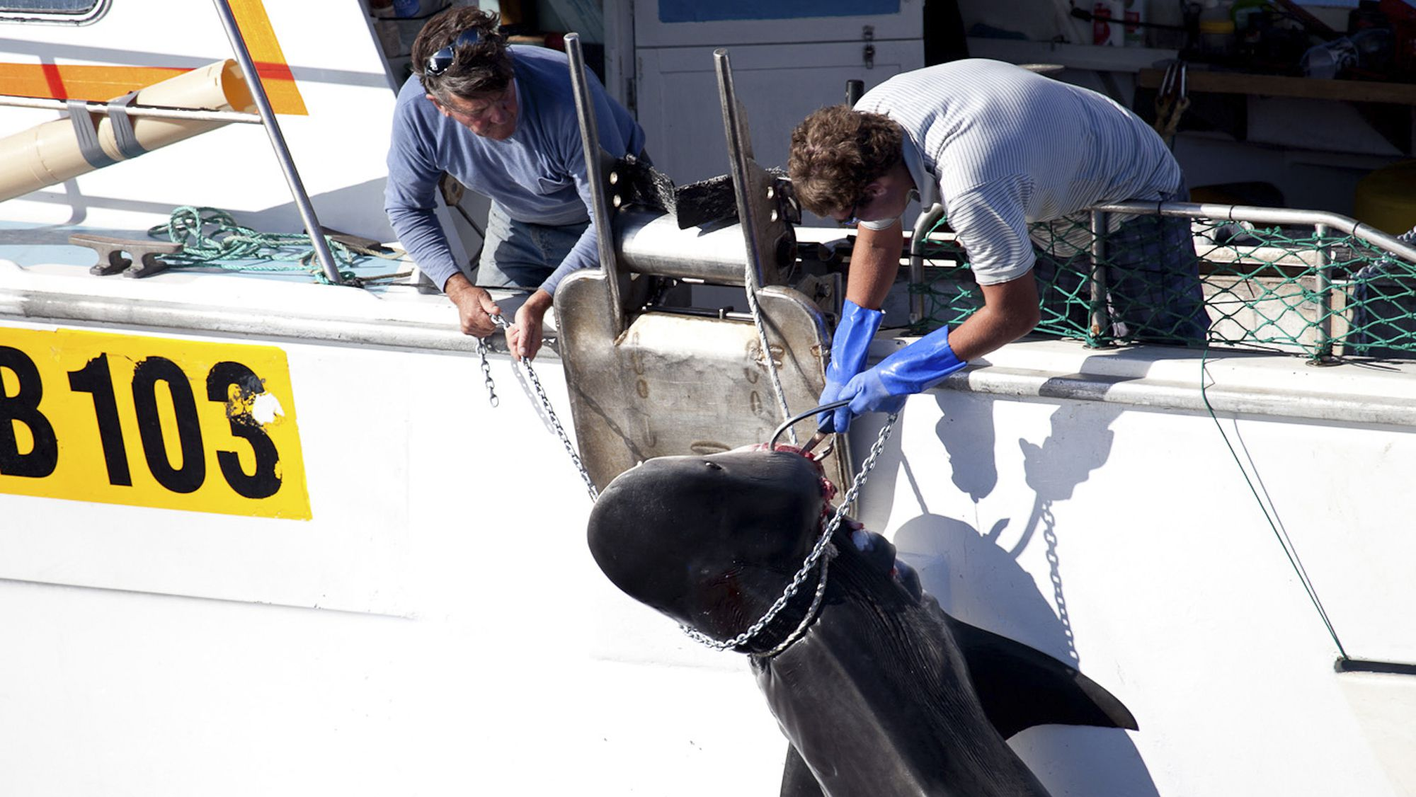 shark cull great white tiger shark attack jaws killed bycatch bite In this photo released by Sea Shepherd, a male tiger shark is hauled onto a fishing boat off Moses Rock on the Western Australian coast Saturday, Feb. 22, 2014. The shark catch was part of Western Australia's controversial shark cull policy. The government began placing baited hooks on drum lines off popular beaches in the state capital Perth and to the south to kill white, bull and tiger sharks over three meters (10 feet) long. The policy is a response to seven fatal shark attacks in Australia's southwest in three years. (AP Photo/Sea Shepherd