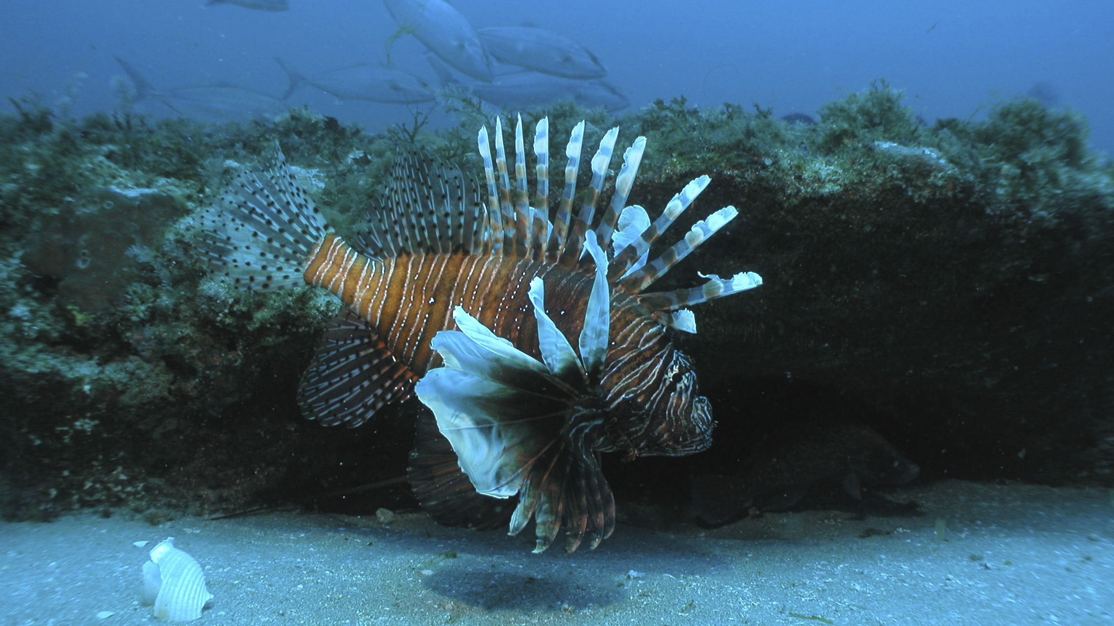 lionfish invasive species disruptive innovation ecosystem competition predator extinction monopoly In this July 2006 file image released by NOAA Undersea Research Center, a lionfish swims at a depth of about 130 feet, roughly 55 miles off the coast of North Carolina. Conservationists in St. Maarten are warning islanders not to eat lionfish after tests found a naturally occurring toxin in the flesh of the candy-striped invasive species that is causing ecological damage across the region, officials said Thursday, Nov. 24, 2011. (AP Photo/Doug Kesling/NOAA Undersea Research Center