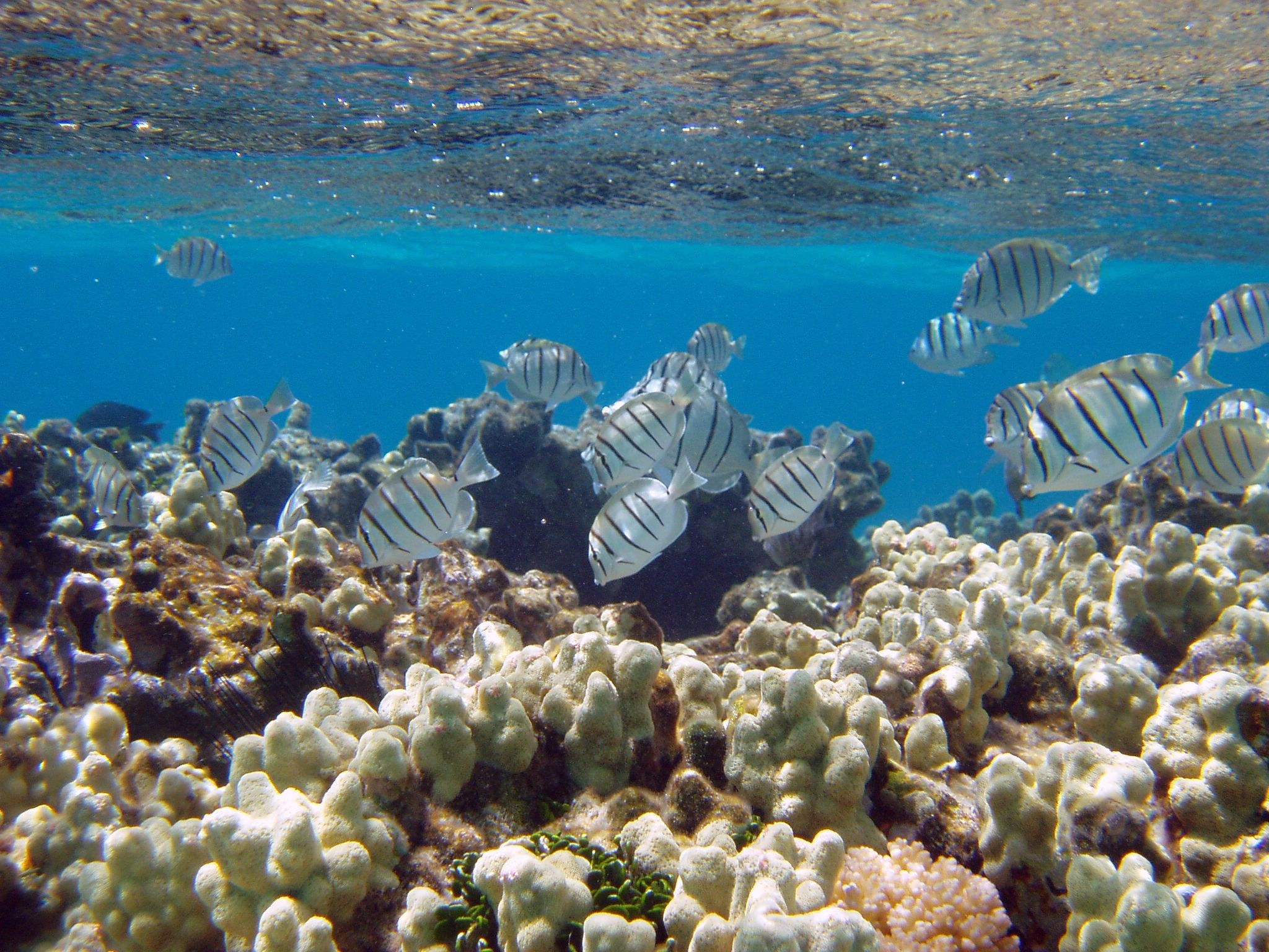 Manini or convict tangs amongst finger coral in shallow water.