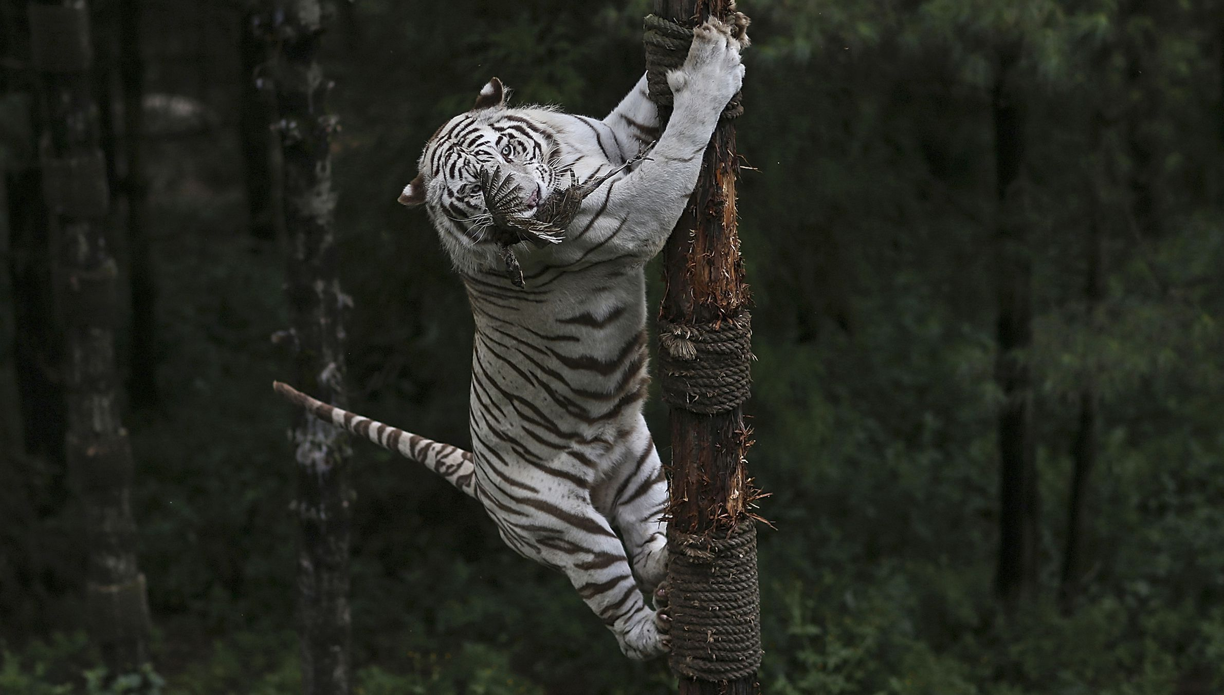 A 6-year-old female White Bengal tiger climbs on a tree as it catches a pheasant hanged by a keeper, at Yunnan Wildlife Park in Kunming, Yunnan province September 19, 2014. REUTERS/Wong Campion (CHINA - Tags: SOCIETY ANIMALS) - RTR46V8S