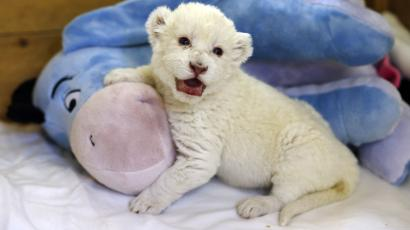 """extinction extinct species DATE IMPORTED:October 04, 2013An eight-day-old white lion cub plays with a soft toy donkey at Belgrade's """"Good hope garden"""" zoo, October 4, 2013. The female white lion cub, still unnamed, was born eight days ago to parents Masha and Wambo. A male was also born but died. Belgrade zoo has a total of 11 white lions, which are extinct in the wild and are found only in zoos and reservations. It is estimated that there are around 500 living in captivity around the world. REUTERS/Marko Djurica"""