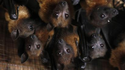 ebola marburg virus epidemic outbreak fever uganda west africa sierra leone liberia guinea Grey-headed flying foxes reside in animal trainer Santisak Dulapitak's house in the outskirts of Bangkok September 10, 2009. Santisak, 53, has been training his animals to appear in advertisements and movies for more than two decades. The grey-headed flying fox, a type of fruit bat, is one of many animals Santisak trains. Picture taken September 10, 2009. REUTERS/Sukree Sukplang