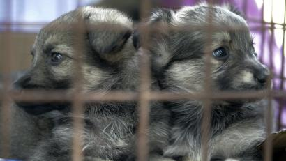 Why More American Pet Store Puppies Are Being Banned Quartz