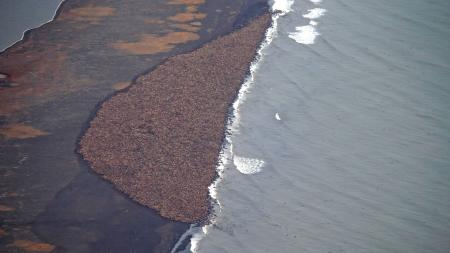 arctic global warming climate change rising temperatures ice In this aerial photo taken on Sept. 23, 2014 and released by NOAA, some 1500 walrus are gather on the northwest coast of Alaska. Pacific walrus looking for places to rest in the absence of sea ice are coming to shore in record numbers, according to NOAA. (AP Photo/NOAA, Corey Accardo This June 2014 released by the U.S. Fish and Wildlife Service shows Pacific walruses in the Chukchi Sea off the coast of Alaska. Researchers are trying to get a better handle on the size of the Pacific walrus population ahead of an expected decision by the U.S. Fish and Wildlife Service on whether the animals need special protections. (AP Photo/U.S. Fish and Wildlife Service