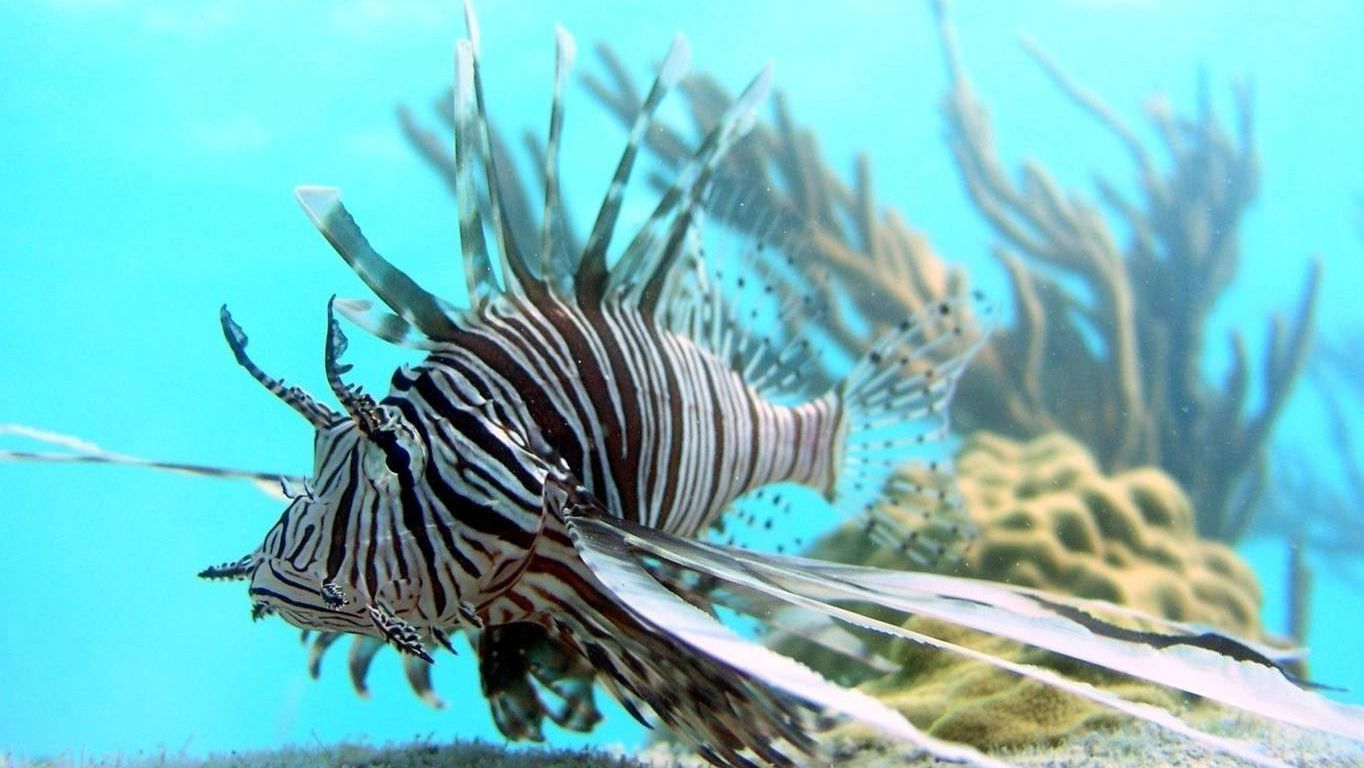 In this July, 2007 file photo released by Oregon State University, a lionfish swims off Lee Stocking Island, Bahamas. Jamaica's government announced on Saturday, April 12, 2014 a big decline in sightings of lionfish, the voracious invasive species that has been wreaking havoc on regional reefs for years and wolfing down native juvenile fish and crustaceans. They have been such a worrying problem that divers in the Caribbean and Florida are encouraged to capture them whenever they can to protect reefs and native marine life already burdened by pollution, over fishing and the effects of climate change. (AP Photo/Mark Albins/Oregon State University