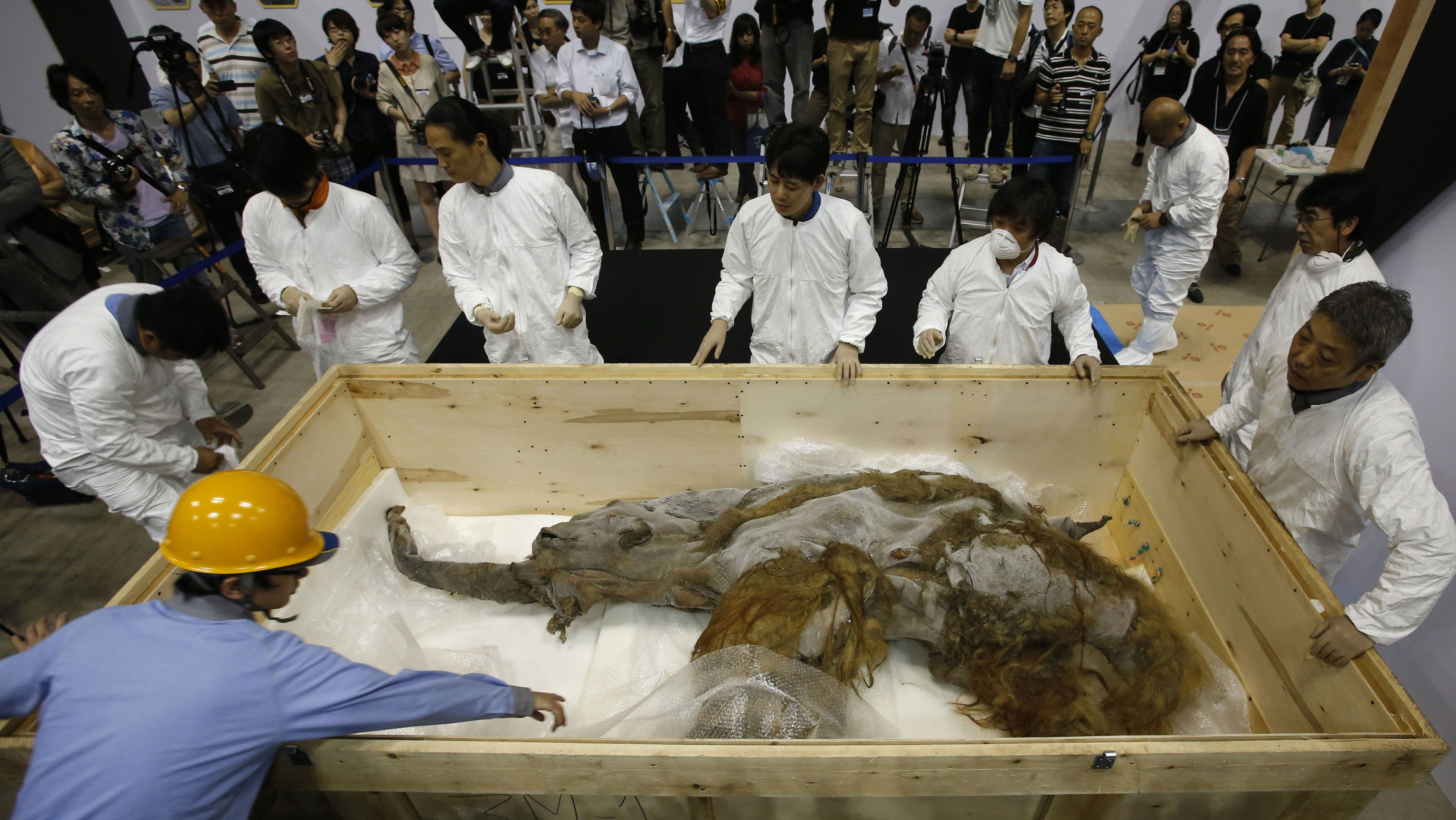 A 39,000-year-old female Woolly mammoth, which was found frozen in Siberia, Russia is seen upon its arrival at an exhibition hall in Yokohama, south of Tokyo, July 9, 2013.