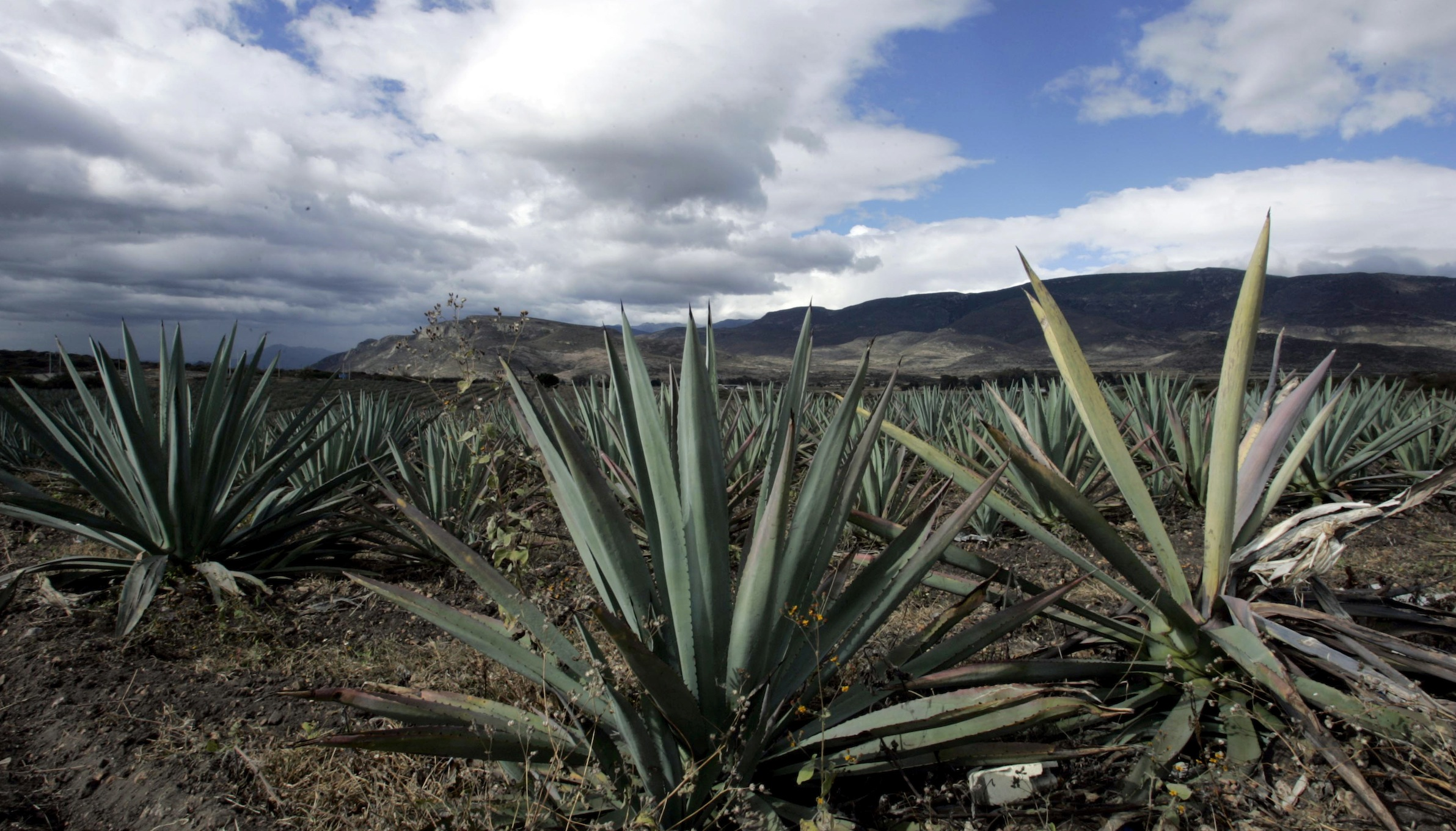 Agave cactus plants are seen in a field near the town of Santiago Matatlan November 14, 2007. Mezcal is produced in the south western state of Oaxaca and is distilled from fermented agave cactus. Picture taken November 14, 2007.    REUTERS/Stringer (MEXICO) - RTXWZ0