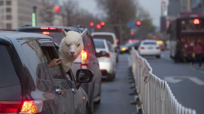 An alpaca looks out from a car on a busy street in Changchun, Jilin province April 16, 2014.