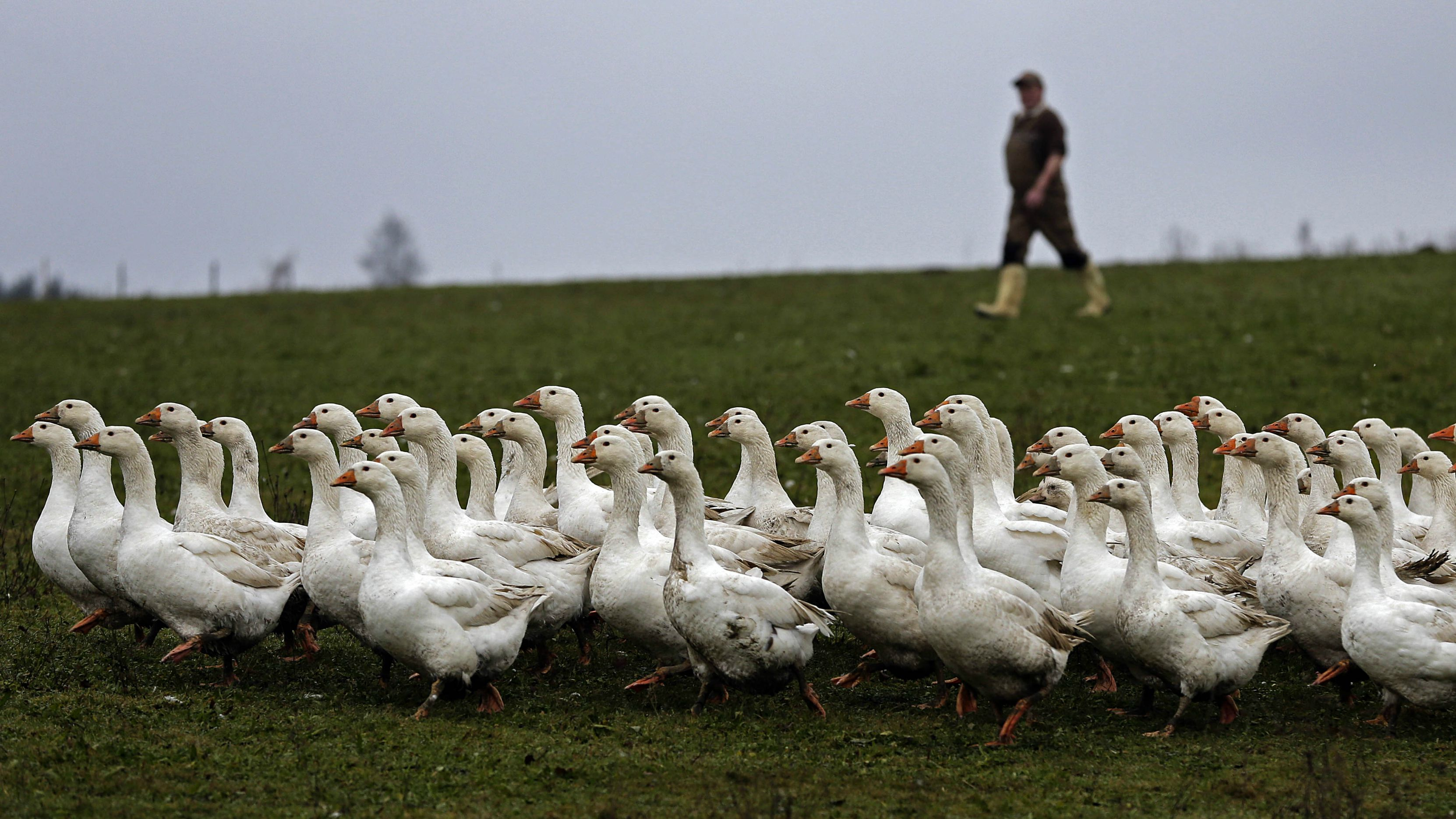 geese, down jackets, ethical down, traceable down, coats, outerwear