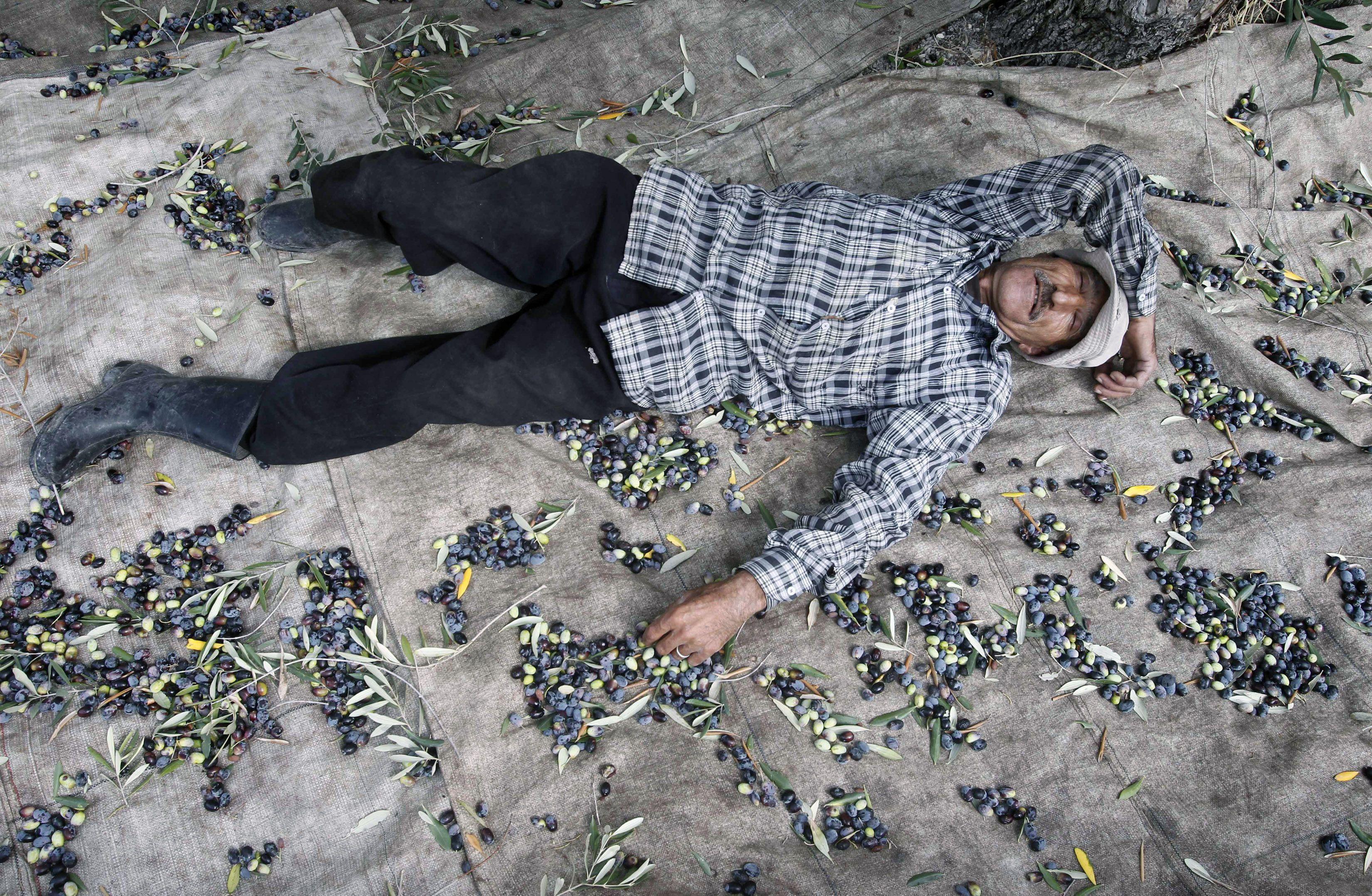 A villager rests while harvesting olives