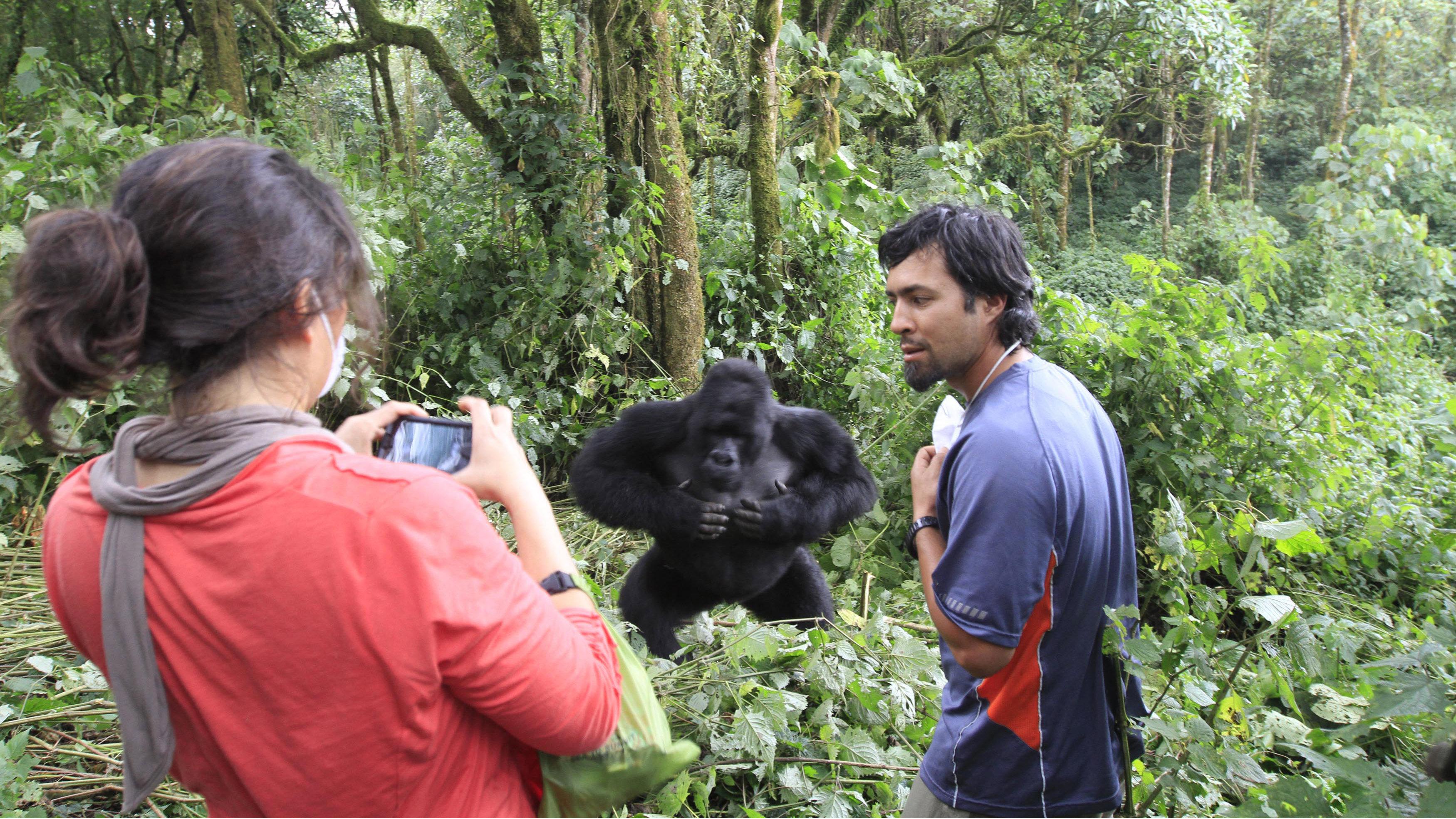 tourist in virunga park with gorilla
