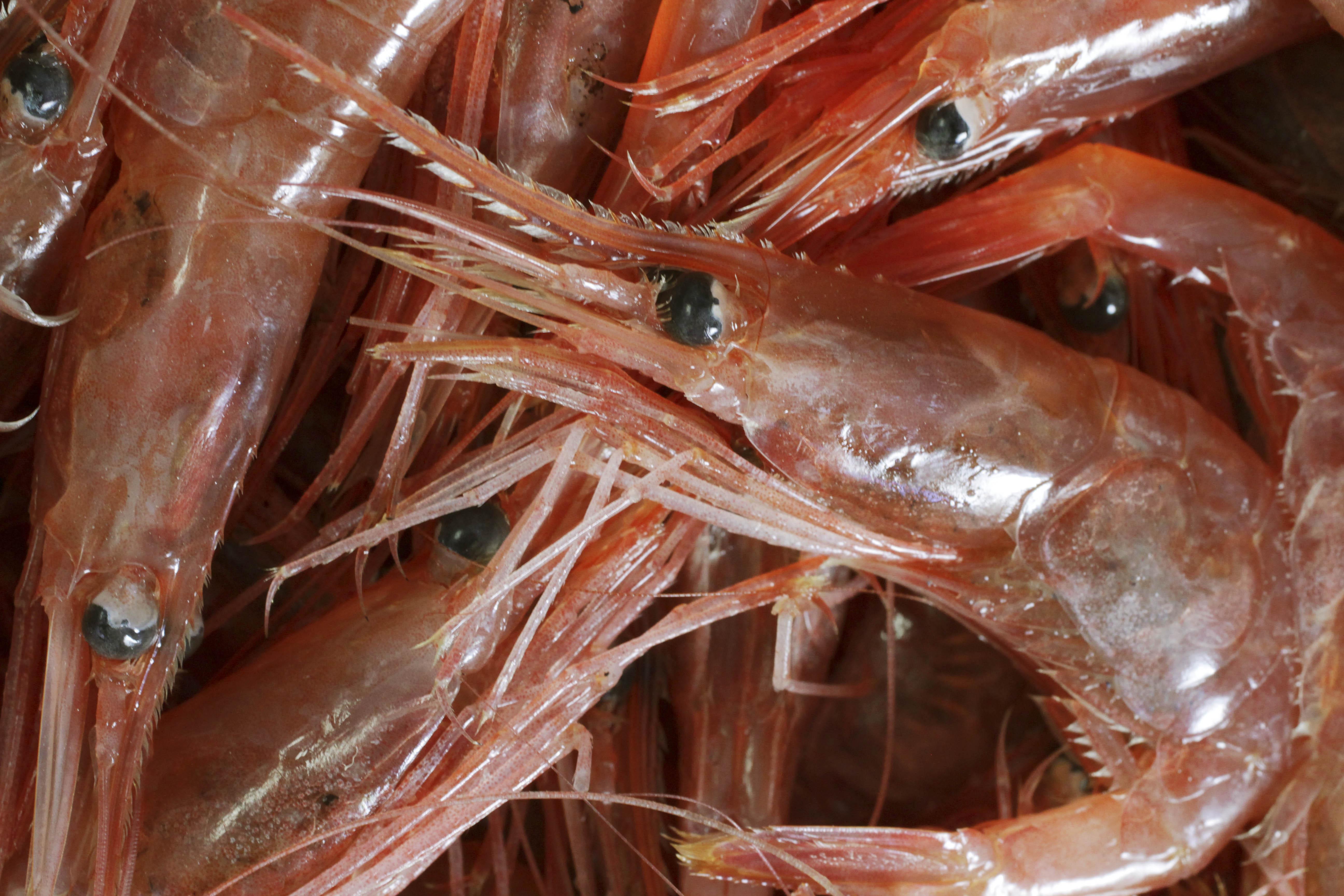 shrimp (from maine)