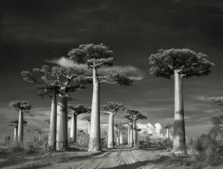 Avenue of the Baobabs-beth-moon-ancient-trees