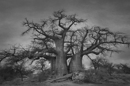 Baobabs of Kubu Island 3-beth-moon-ancient-trees