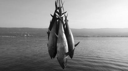 """Freshly-harvested Bluefin tunas are uploaded from a """"tuna farm"""", off the Calabrian coast in southern Italy November 20, 2009. Fishing nations agreed to cut by about a third the quota for Atlantic bluefin tuna, a giant fish prized by sushi lovers, numbers of which have been decimated by commercial catches. Picture taken November 20, 2009. REUTERS/Tony Gentile"""